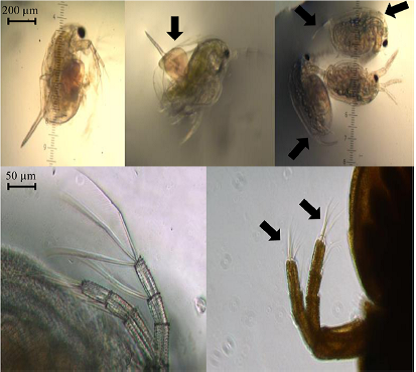 Images of malformations of zooplankton found in study. Photo credit: Besseling et al. http://pubs.acs.org/doi/abs/10.1021/es503001d